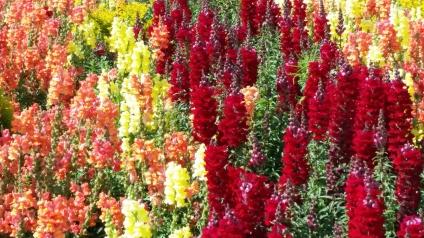 Israel-D12-flowers